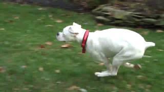 White boxer running laps