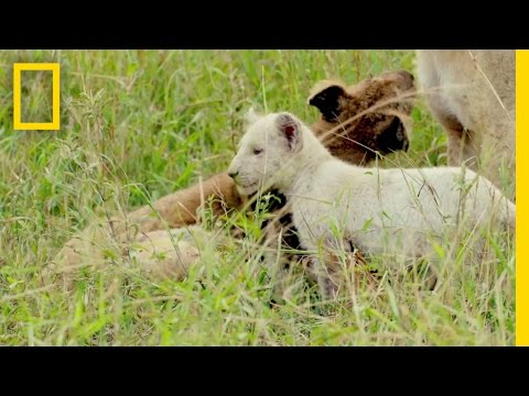 Extremely Rare White Lions Caught on Camera | Short Film Showcase