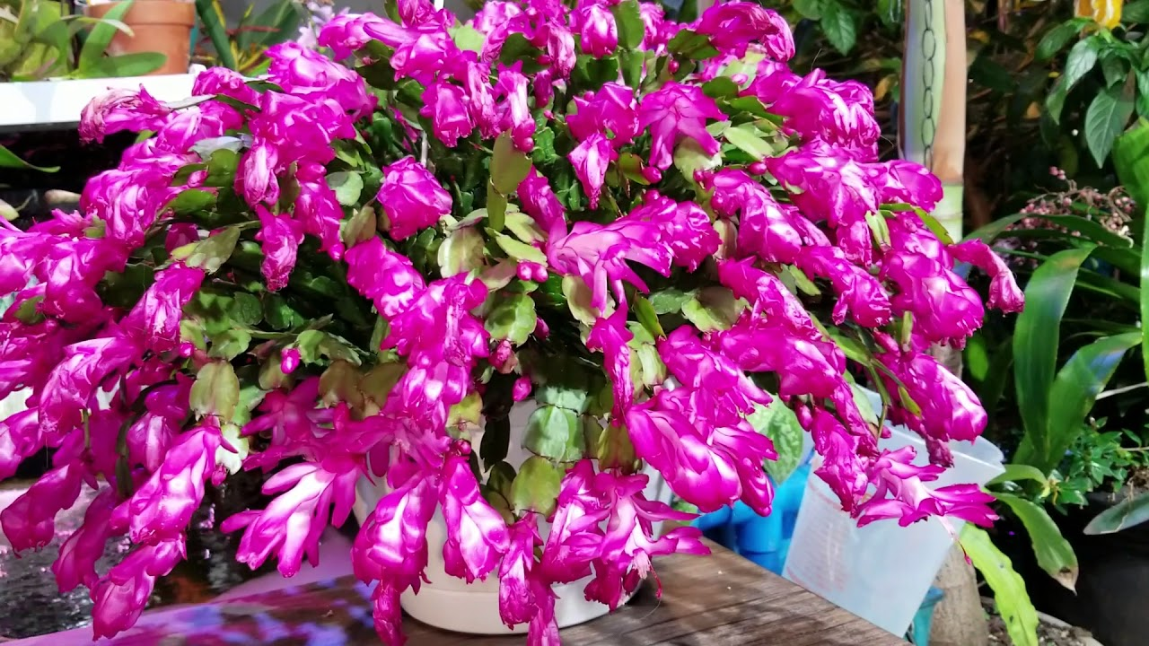 Christmas Cactus Blooming.Thanksgiving Christmas Easter Cactus Bloom Encouragement