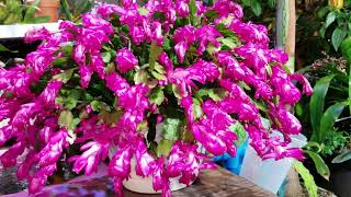 Thanksgiving/Christmas & Easter Cactus || Bloom Encouragement