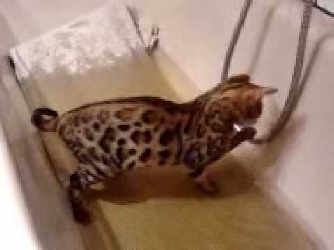 Mini leopard bengalkatze in der badewanne youtube - Mini badewanne ...