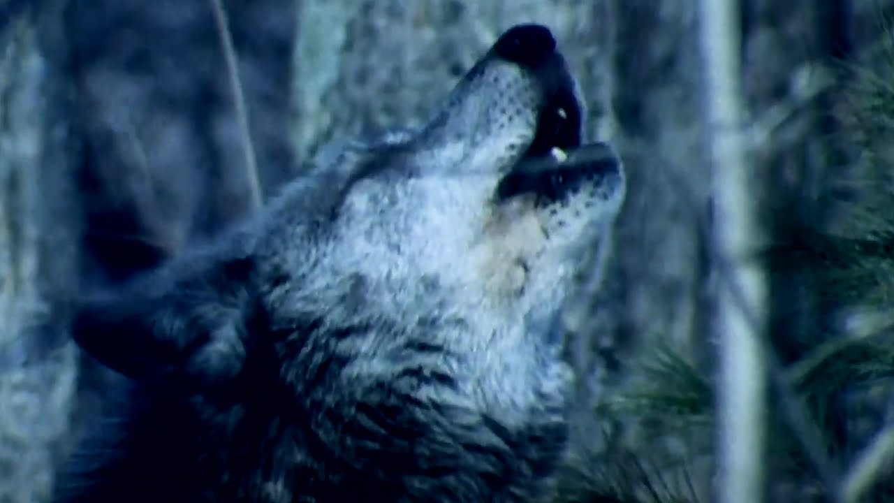 Why Do Wolves Howl at the Moon? | BBC Earth Kids