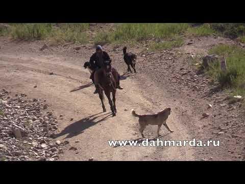 видео: Гиссарские овцы, встреча Саги дахмарда из разных отар