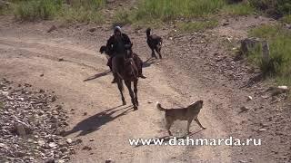 Гиссарские овцы, встреча Саги дахмарда из разных отар