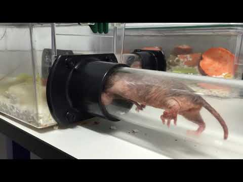 Studying naked mole-rats could be the key to breakthroughs in treating pain and cancer