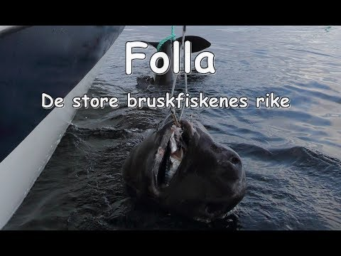 Folla – de store bruskfiskenes rike / Folla – where the gian