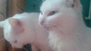 Два белых кота. Two white cat