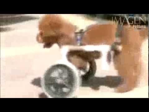 Perro con dos patas aprende a caminar con silla de ruedas for Patas con ruedas