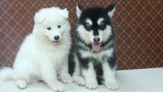 Chó Samoyed 2 tháng tuổi cực dễ thương