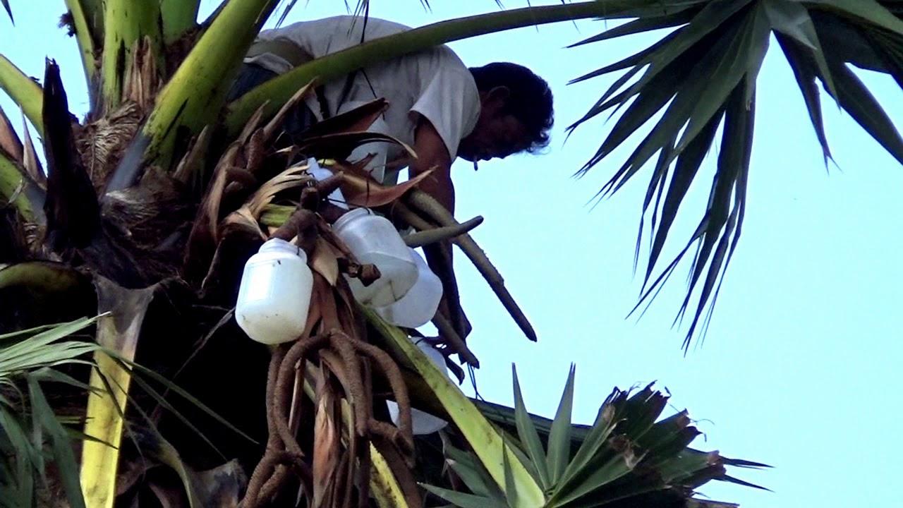 Nghề lấy nước thốt nốt nấu thành đường dưới chân núi Dài, Tà Lọt, Tịnh Biên, An Giang 05/03/2019