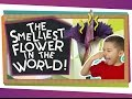 The World's Smelliest Flower