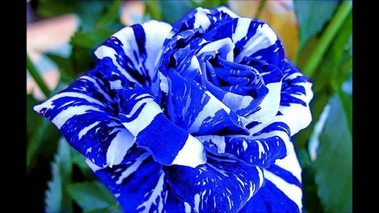 Bellissime rose youtube for Foto di rose bellissime