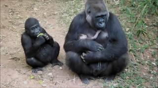 Nasce terceiro filhote de gorila em zoológico de BH