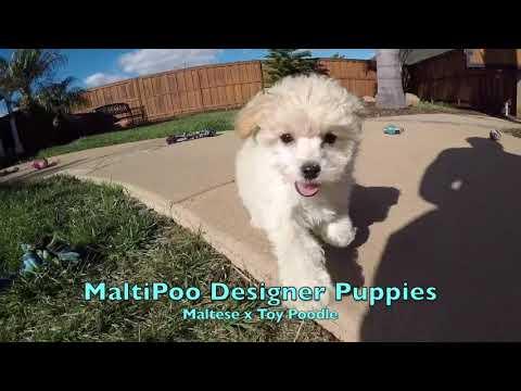 """monty-and-mulan""-maltipoo-designer-puppies-for-sale-in-san-diego!!!!"