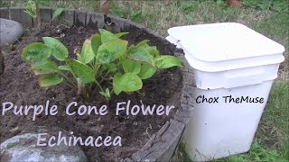 Echinacea Purple Cone Flower Transplant and Update Sept 2014