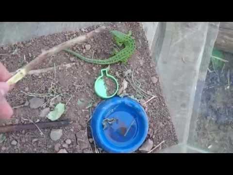 Зеленая игуана или обыкновенная фото, видео, содержание и