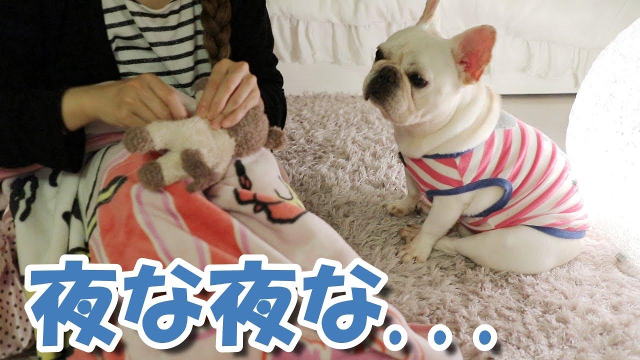 ボロボロになったぬいぐるみを裁縫中、心配そうに見つめる犬【フレンチブルドッグ frenchbulldog】