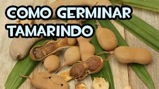 Como germinar Tamarindo | Experimentos
