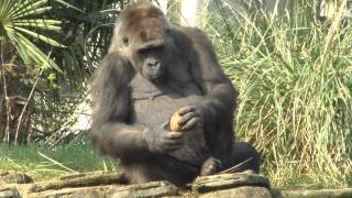 Watch our gorilla try open up a coconut