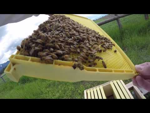 Foster's Bees--We Have Brood! (and burr comb) (Ep. 4)