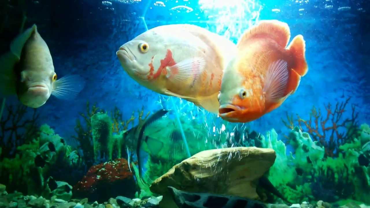 Oscar Fish Tank Setup Old School Version