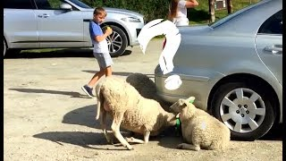 Vlog #10 Funny animals - Crazy Sheep. What ARE They Doing!? Lol :D :D :D