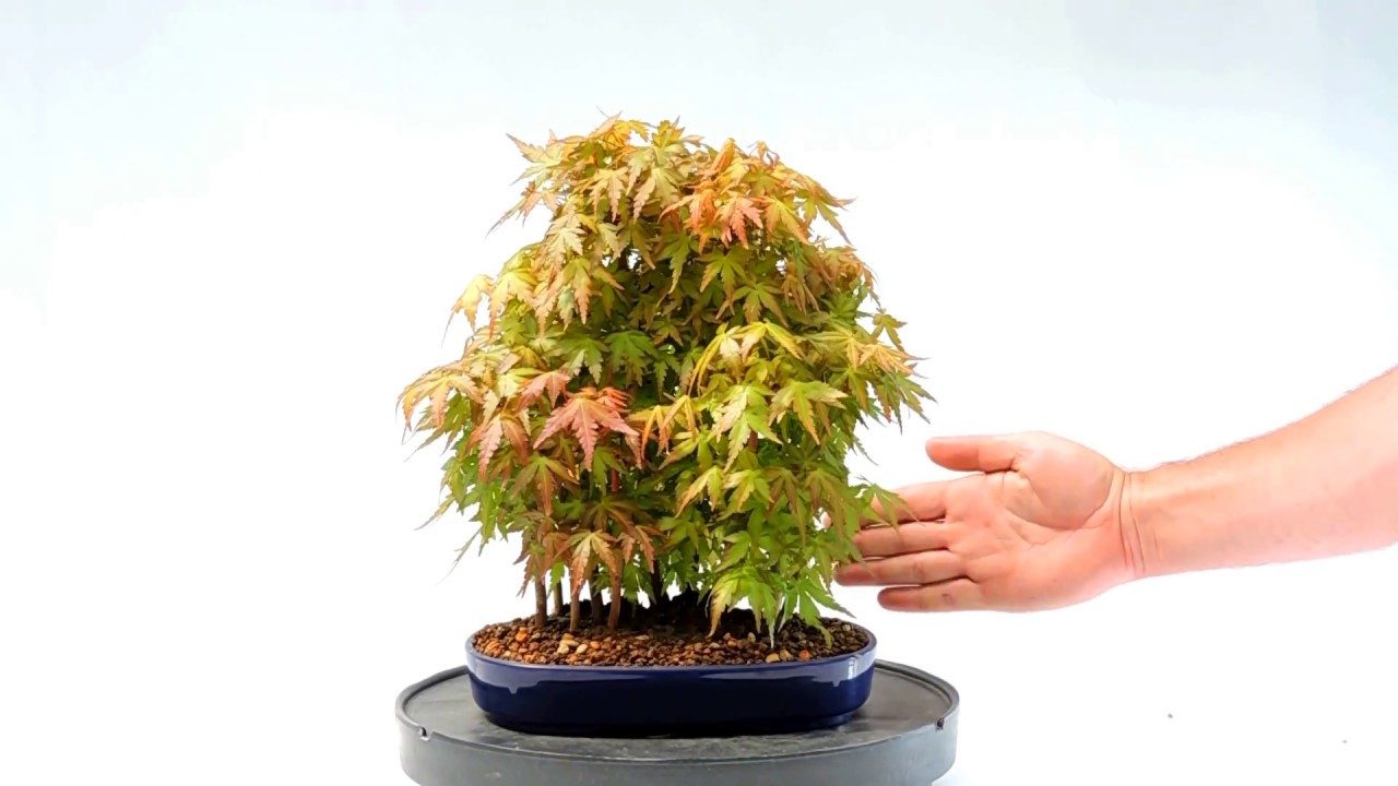 Video 360º Bonsai Bosque Acer Palmatum Ref Acp68 B Youtube