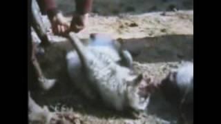 Chinese fur farm cruelty-skinning alive