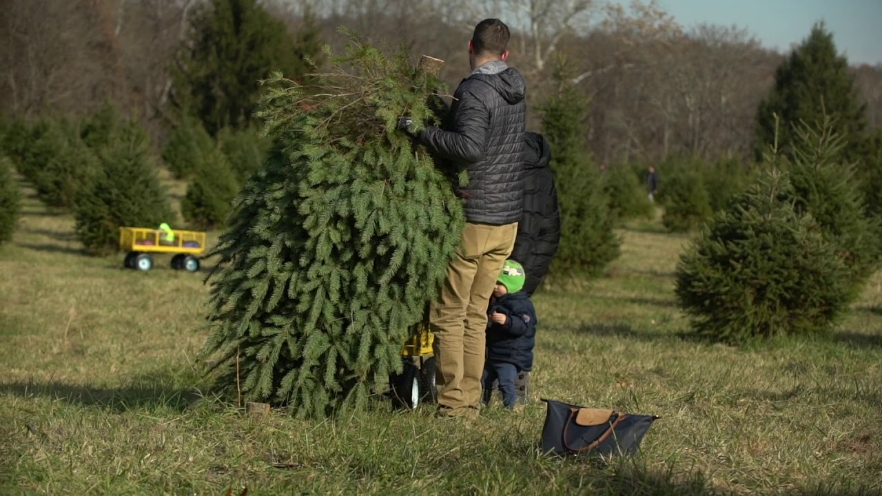 hauling back at middleburg christmas tree farm serving the greater washington dc area - Middleburg Christmas Tree Farm