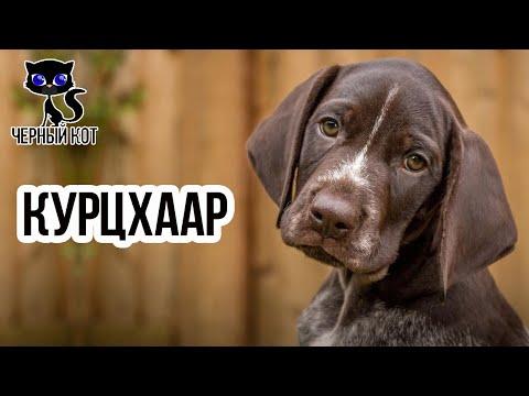 ✔ Немецкий курцхаар, особенности породы. Кому подойдёт эта собака?