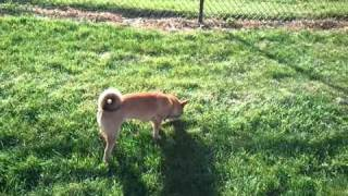 Shiba Inu, Pomeranian And Husky Puppies Playing At The Park