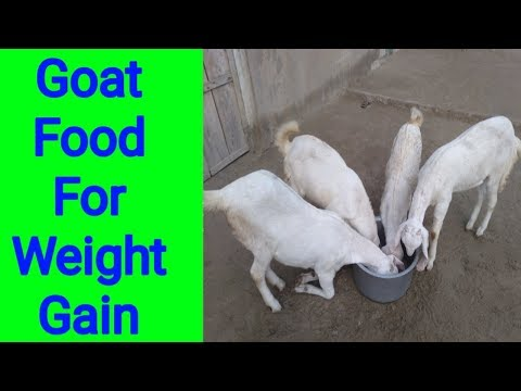 how-to-feed-goat-|-goat-feed-for-weight-gain-|-best-goat-feed-|-baby-goat-food-|-goat-food