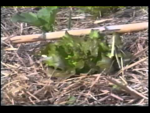 Permaculture - Emilia Hazelip - Synergistic Garden (95)