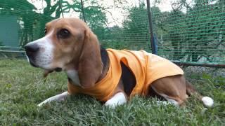 お嬢様はビーグル http://s.ameblo.jp/beagle-smile ○ドッグスクールス...