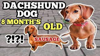 MINI DACHSHUND DOG BREED ( 8 MONTH'S OLD) | DER DOGS