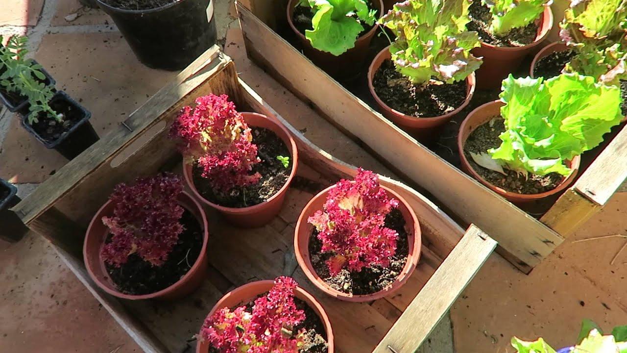 Growing lettuce in a pot - Harvesting Lettuce How To Grow Lettuce In Pots