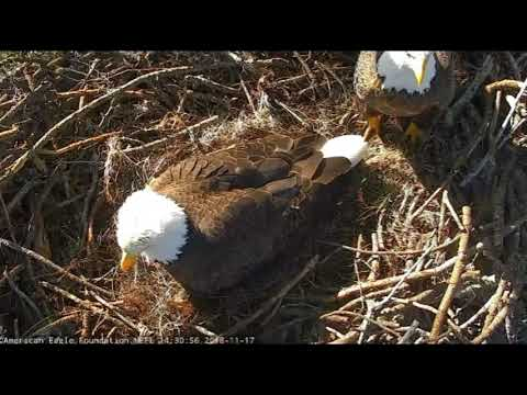 AEF NEFL Eagle Cam 11-17-18: Romeo and Juliet Welcome NE21