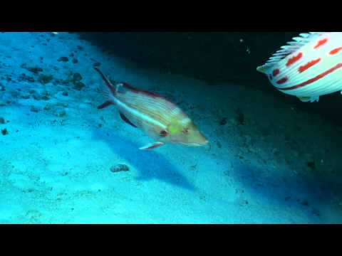 Bodianus bathycapros from Pearl and Hermes at 83m   video by Richard L  Pyle