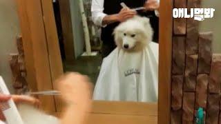 사모예드 이발하는 날 ㅣ Samoyed Dog's Haircut Day