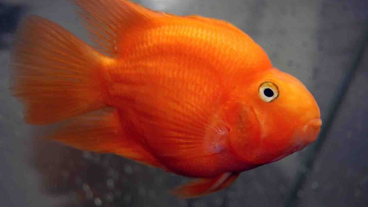 Difference between Male and female in parrot fish in Hindi - YouTube