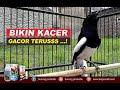 Suara Burung Kacer Gacor Buat Pancingan Kicau Mania  Mp3 - Mp4 Download