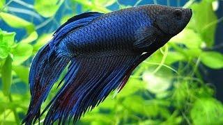 Рыбка Петушок и уход за ней в 1 дни | как назвать это ЧУДО?!