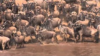 Gnu Crossing am Mara River  -  wildebeest crossing at the Mara-River