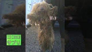 動物保護団体のスタッフが2匹のヨークシャテリアを発見したとき、体には...