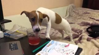 Прикол собака пьёт фанту...)