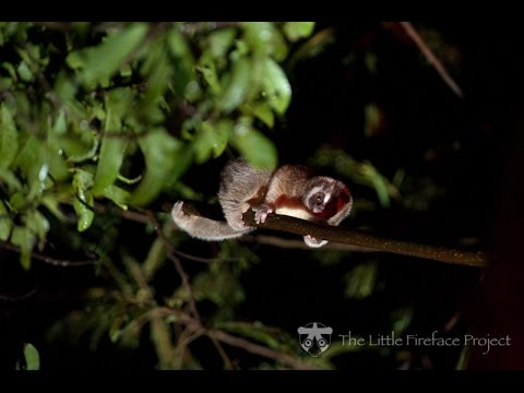Nekaris Evolutionary Anthropology Supplementary Material Fast Loris