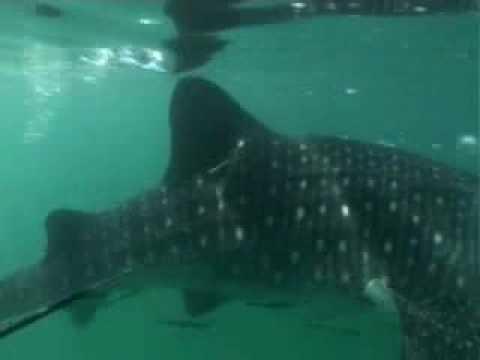 Whale Shark Study