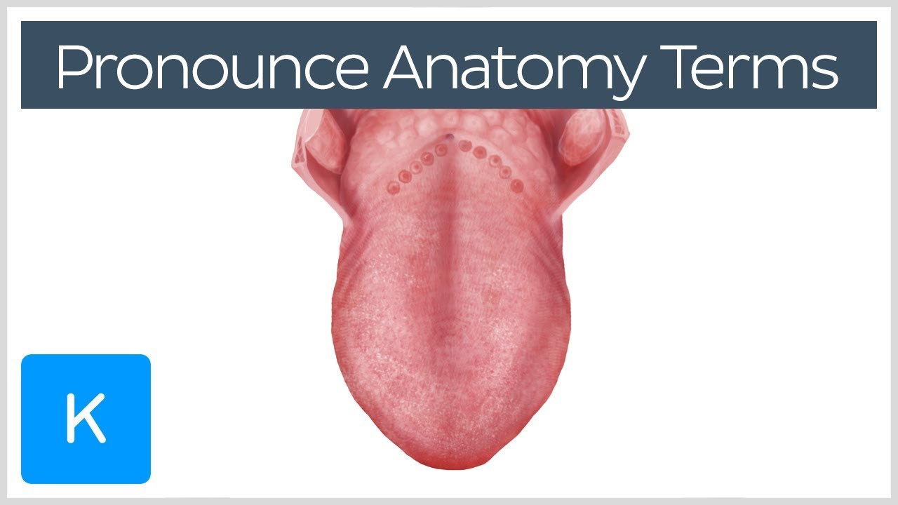 4 ways to correctly pronounce anatomy terms - Human ... - photo#3