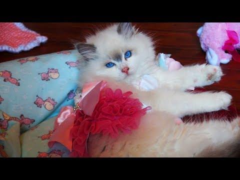 NEW!! Rosey The 13 week Old Soulmate Blue Bi-color Ragdoll Kitten Is Home!