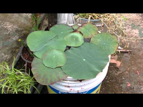 Nelumbo Nucifera in container of 5 gallon